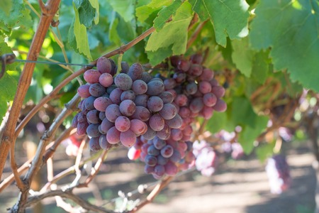 Ripe grapes and green leaves. Close-up bunch of red grapes on grapevine. Harvest time in winery industry. Seasonal fruits harvesting in countryside garden. Healthy and natural food