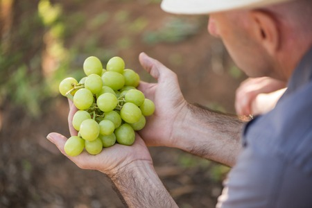 Man holding bunch of white grapes in hands. Seasonal harvesting in countryside garden. Close-up male hands with grapes. Traditional and natural wine industry. Harvest farming to make white wine.