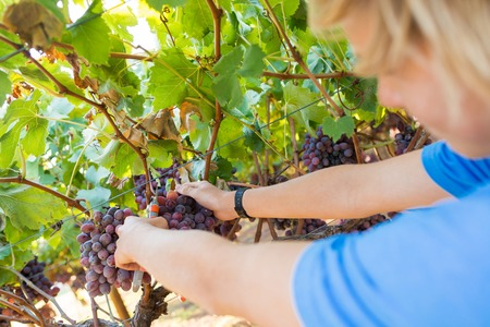 Worker picking red grapes in vineyard at sunny day.