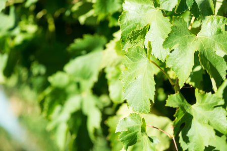 Green leaves of grapes at sunlight. Close-up freshly green grapevine. Branch of vine leaves in vineyard.