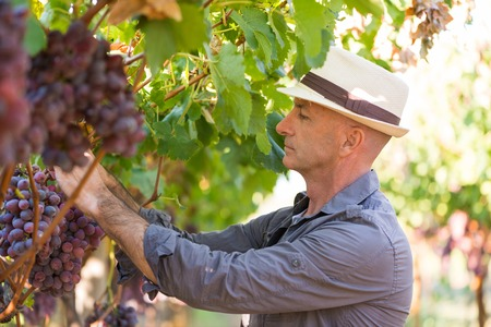 Gardener picking ripe red grapes from grapevine with green leaves. Traditional winery ecological farm and winemaker business. Side view adult harvester in straw hat working in vineyard. Stock Photo