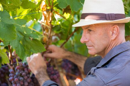 Winegrower man in straw hat picking ripe grapes in vine row. Traditional winery ecological farm and winemaker business. Adult harvester working in vineyard. Harvest time in winery industry.