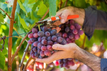 Close-up male hands picking bunch of red grapes with garden pruner. Seasonal harvesting in countryside garden. Traditional and natural wine industry. Bunch of grapes on grapevine with green leaves