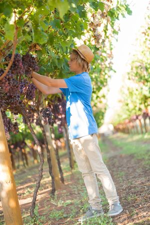Blond teenager in straw hat picking ripe grapes in vineyard at sunny day. Boy harvesting red grapes from grapevine. Harvest time in winery industry. Young caucasian farmer at work outdoor. Stock Photo