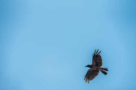 grey raven flying in wild outdoors Stock Photo