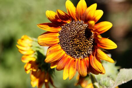 A fully open sunflower with petals blowing in wind. Stock fotó
