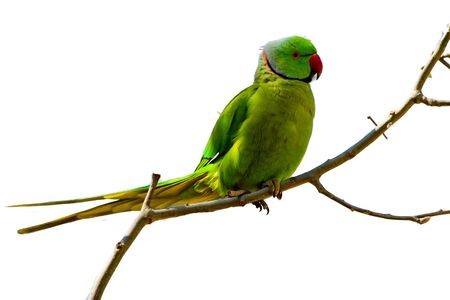 Parrot In Green And Blue Colors Isolated On A Transperant Background.