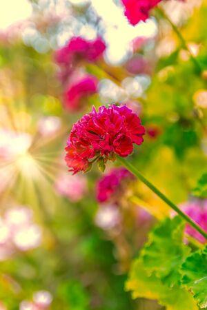 Beautiful red flowers at the sunrise Romentic and Beautifull.