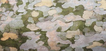 sicomoro: Sycamore bark texture