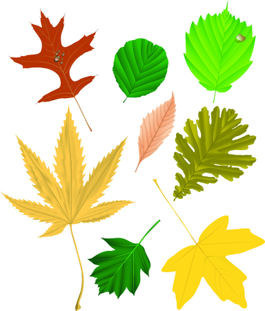 silver maple: Autumn leaf collection, vector illustration