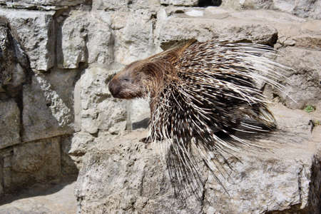 spines: Porcupine with sharp spines