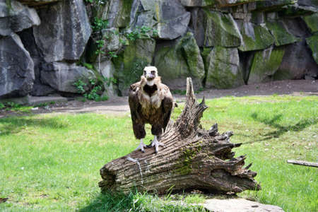 fulvus: Vulture large gyps fulvus