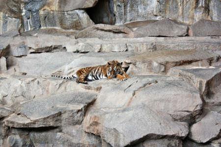 Sleeping tiger photo