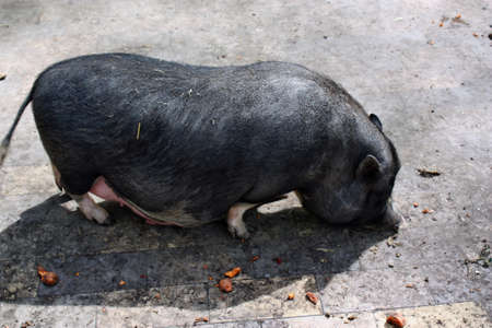 Vietnamese pig photo