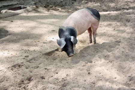 hampshire: Hampshire cerdo Foto de archivo