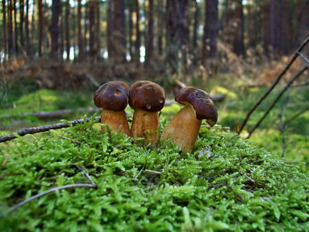 Mushrooms Xerocomus badius in the forest on the moss photo