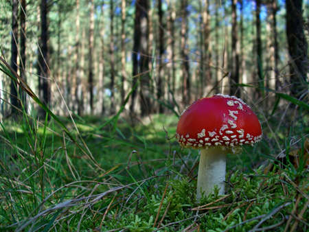Toxic mushroom amanita muscaria in the forest photo