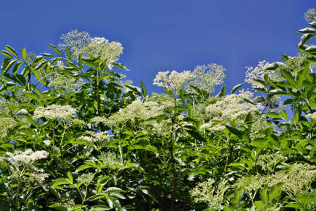 Elderberry photo