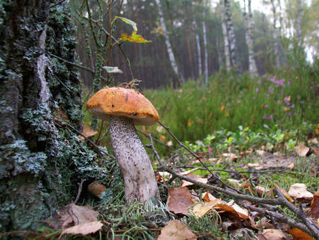 Mushroom Leccinum versipelle in the forest photo