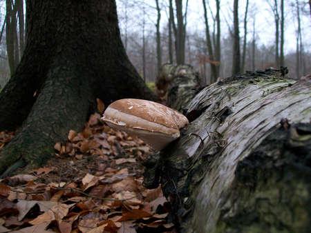 Mushroom Piptoporus betulinus Stock Photo