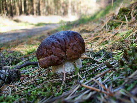 Mushroom boletus edulis in the forest on the moss photo