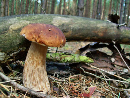 Porcini boletus edulis photo