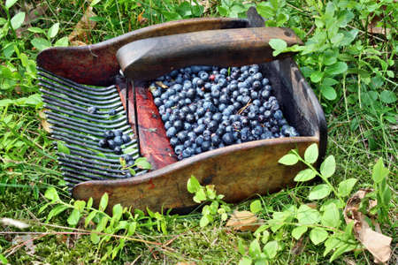A comb to harvest blueberries photo