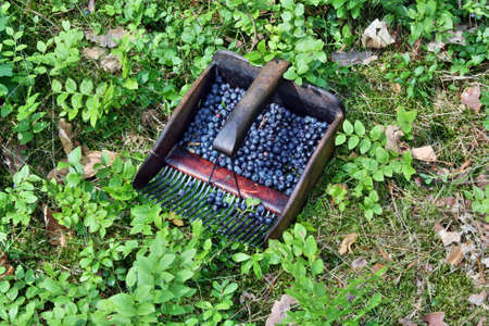 collect: Collect bilberries