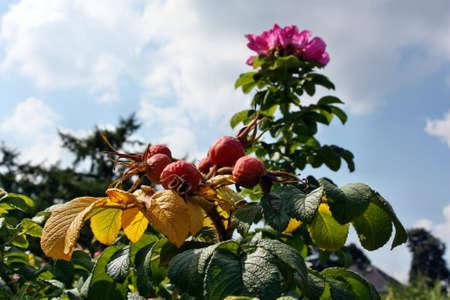 briar: Rose briar growing in the garden
