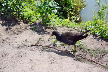 Common Moorhen walking on the shore of the lake photo