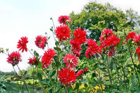 Red Dalhia flowers