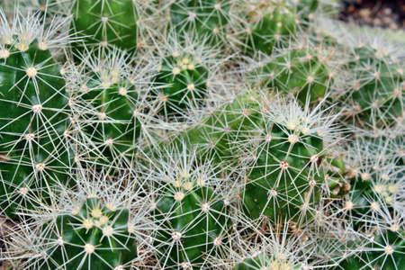 Green cactus needle sharp spines