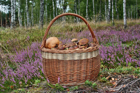 basketful: Basket of mushrooms in the forest