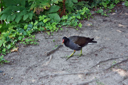 Common Moorhen walking on the shore of the pond photo