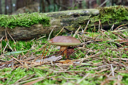 Mushroom  in the forest on the moss photo