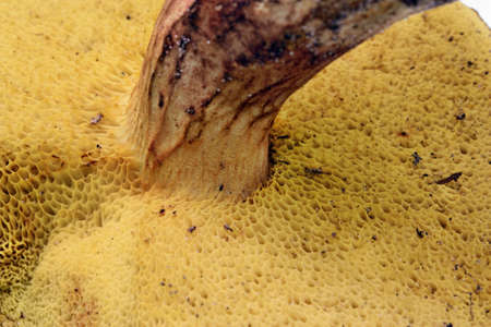 bolete: Hymenophore tube mushroom bolete Stock Photo