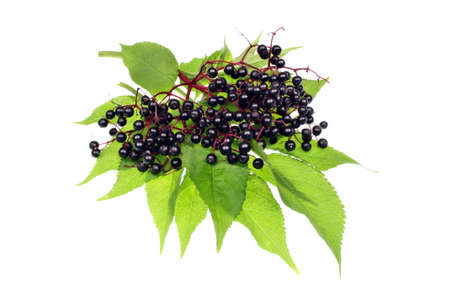 Twig with elderberries and a leaf lying on a white background Standard-Bild