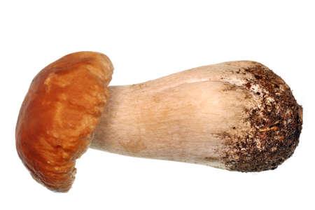 edulis: Mushroom boletus edulis isolated background Stock Photo
