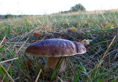 Boletus mushroom in the forest photo