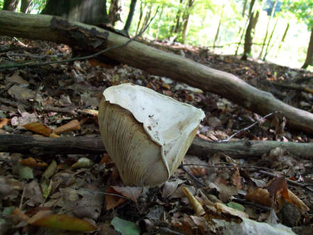 inedible: Mushroom inedible lactarius vellereus growing in the forest Stock Photo