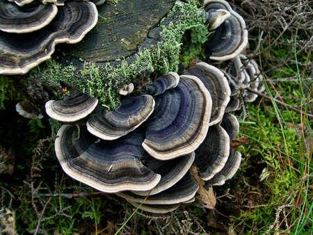 Arboreal mushroom trametes versicolor growing on a tree stump Standard-Bild