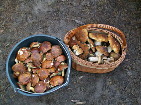 fungoid:  Mushrooms picked in the forest Stock Photo