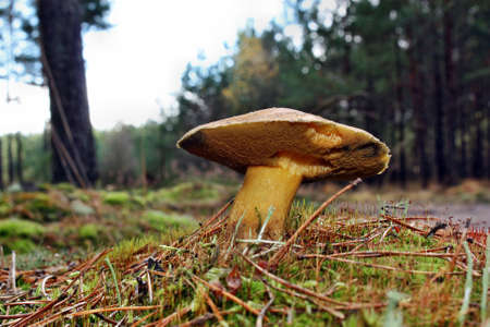 Mushroom suillus variegatus growing in the forest photo