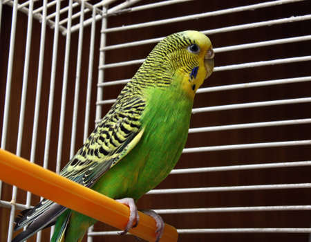 Yellow green wavy parrot sits in a cage photo