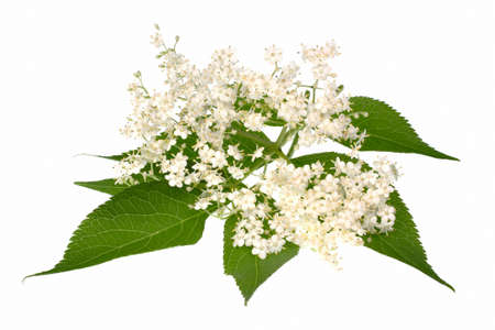 Elderberry flower on a white