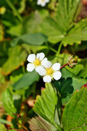 wild strawberry: Flower wild strawberry grow in the forest Stock Photo