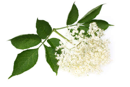 Elderberry flower and leaves on white background Stock Photo