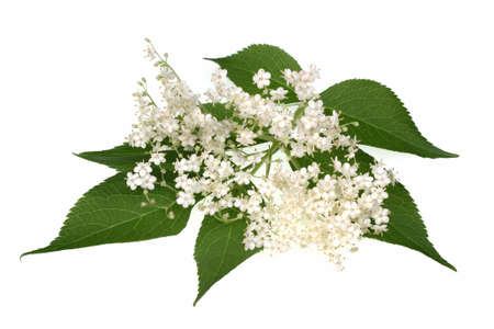 elder: Elderflower flower head sambucus nigra on the white background Stock Photo