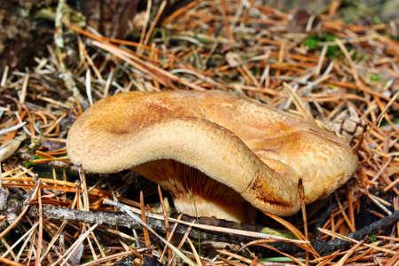 toxic mushroom: Toxic mushroom paxillus involutus growing in the forest Stock Photo