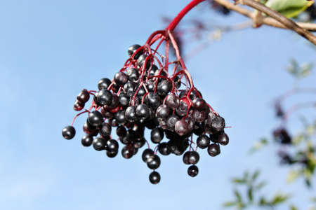 frequent: Unripe fruits of elderberry on blue sky background